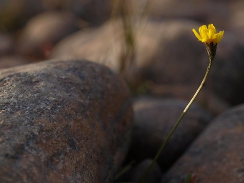 soelenstua_blomma_sten