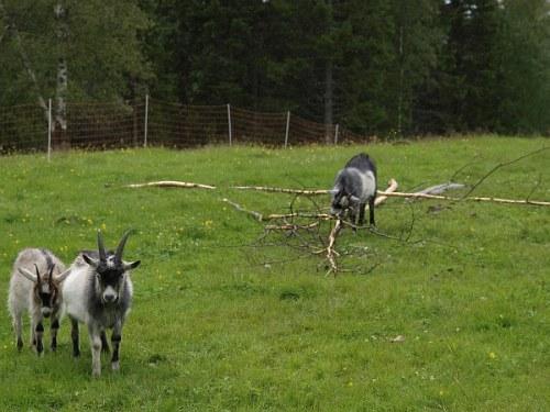 o_nasbgt_goats