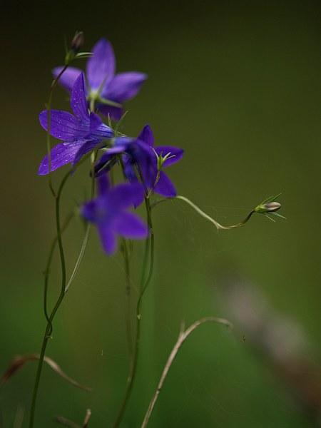 blomma_grangsh