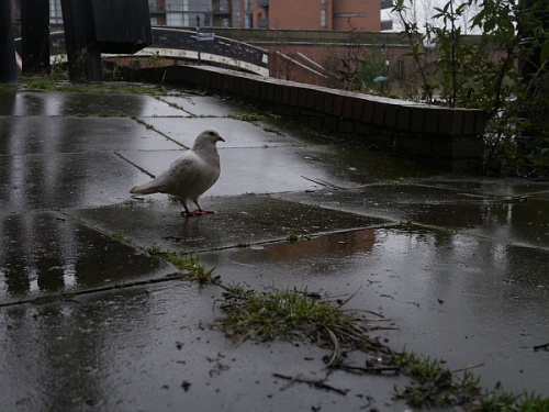 deansgate_canal_dove02