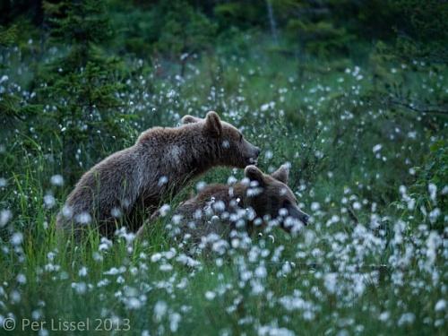 06_bears