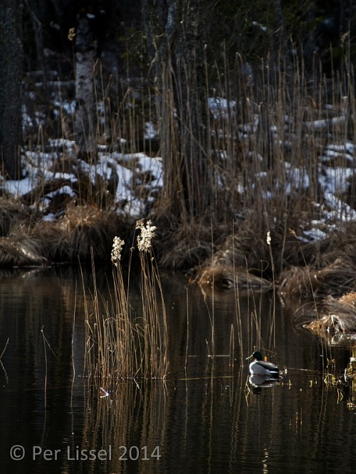 afternoon_mallard_20140315