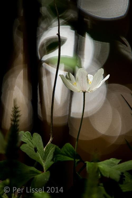 anemone_nemorosa_xxx_20140504