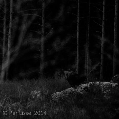 moose_bw_2-20140503