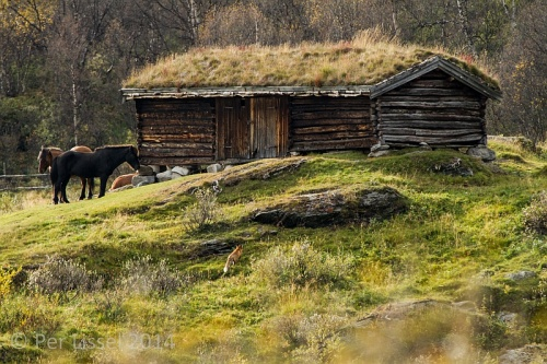 3_horse_and_fox_kongsvold_20140923