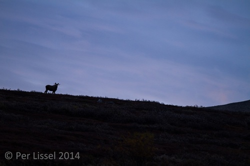 moose_1_hjerkinn_20140923