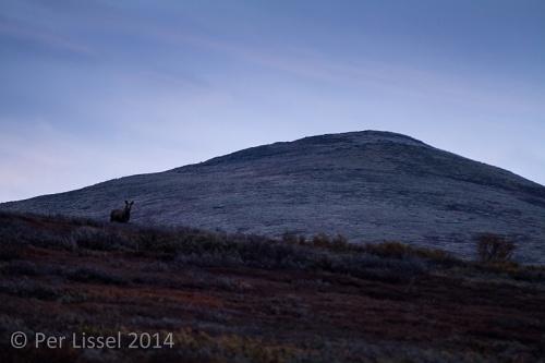 moose_2_hjerkinn_20140923