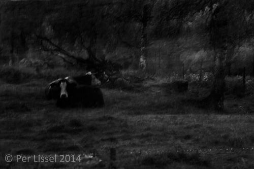 3cows_kloster_bw_20141007