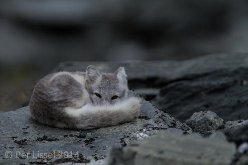 arctic_fox_1_20140924