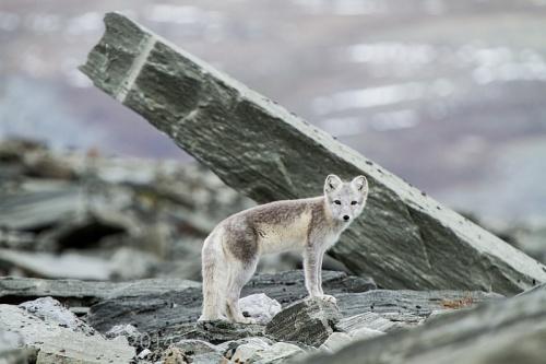 arctic_fox_2_20140924