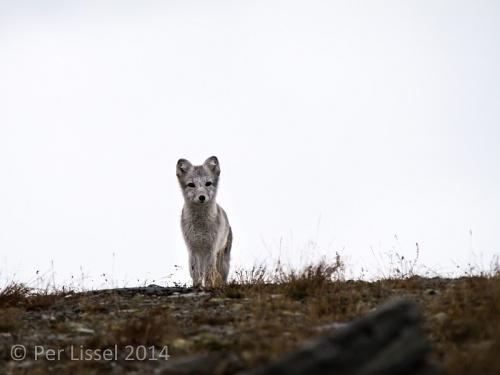 arctic_fox_3_20140924