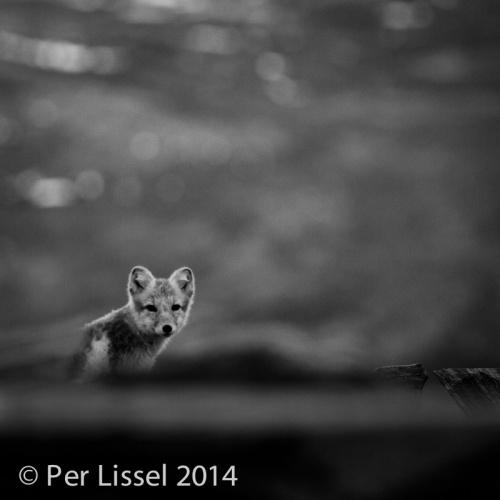 arctic_fox-bw_20140924