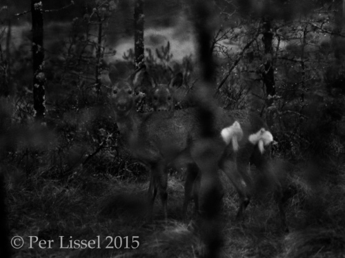 roedeer_3_kloster_1741_bw_20150412