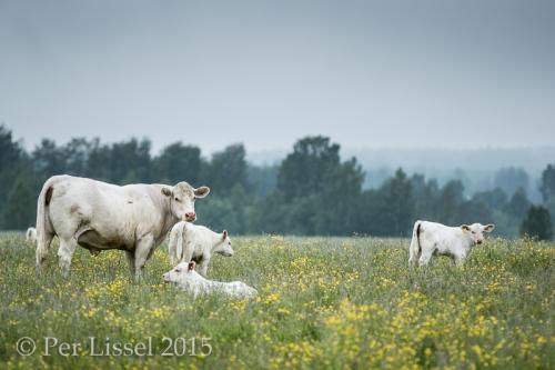 cows_2851_20150621