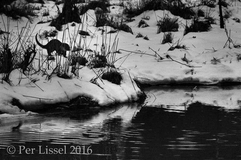 1_otter1506_bw_20160129